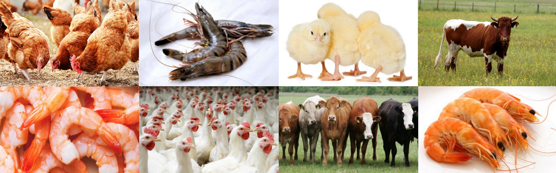 Soya Lecithin for Poultry, Aqua and Cattle Feed Manufacturing